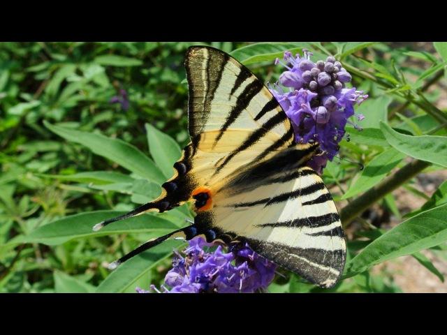 Бабочка Подалирий. Парусники. Бабочки. AllVideo.