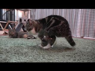 Толстый кот пытается поместиться внутри аквариума