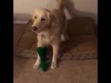 Парень оделся в костюм любимой игрушки своей собаки и это очень мило