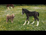 Foal playing with Shar pei Dog!