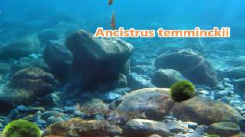Ancistrus temminckii
