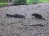Умопомрачительный поединок кота и аллигатора!