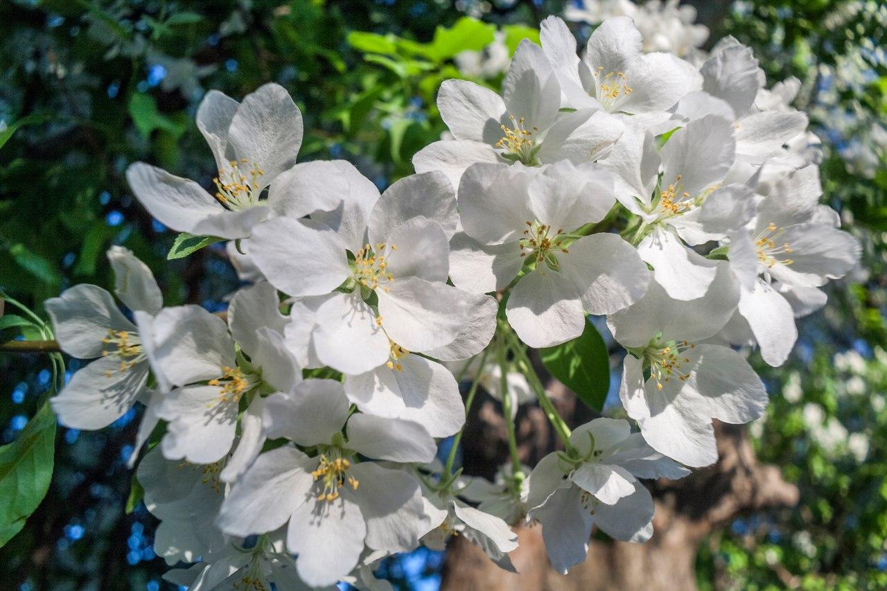 Яблони в цвету картинки фото