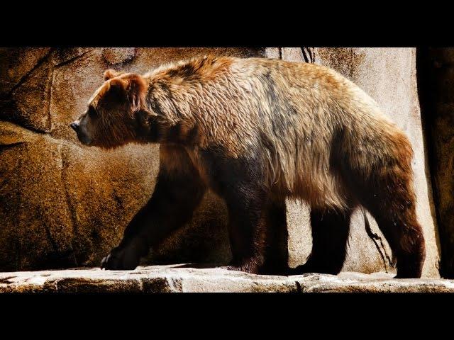 Доисторические Хищники: Короткомордый Медведь. Арктодус \ National Geographic HD