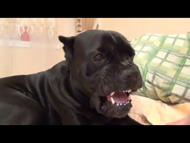 Собака Кане Корсо идет спать и ему не нравиться что его разбудили canecorso