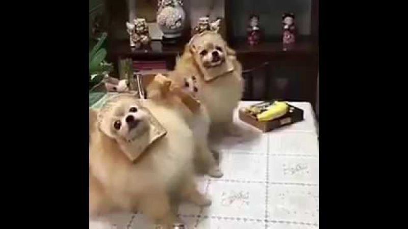 Dogs wearing bread sing a song