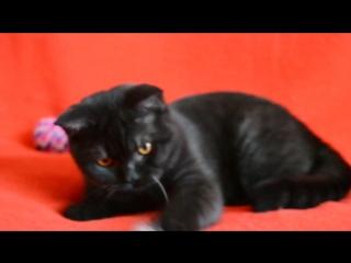 Предлагаем: чистокровный шотландский короткошерстный прямоухий котик-подросток дымного окраса.