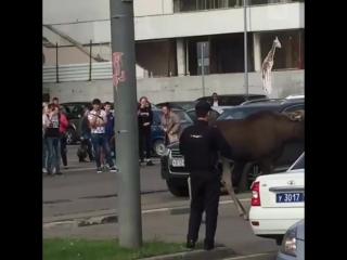 Лось на улицах Москвы