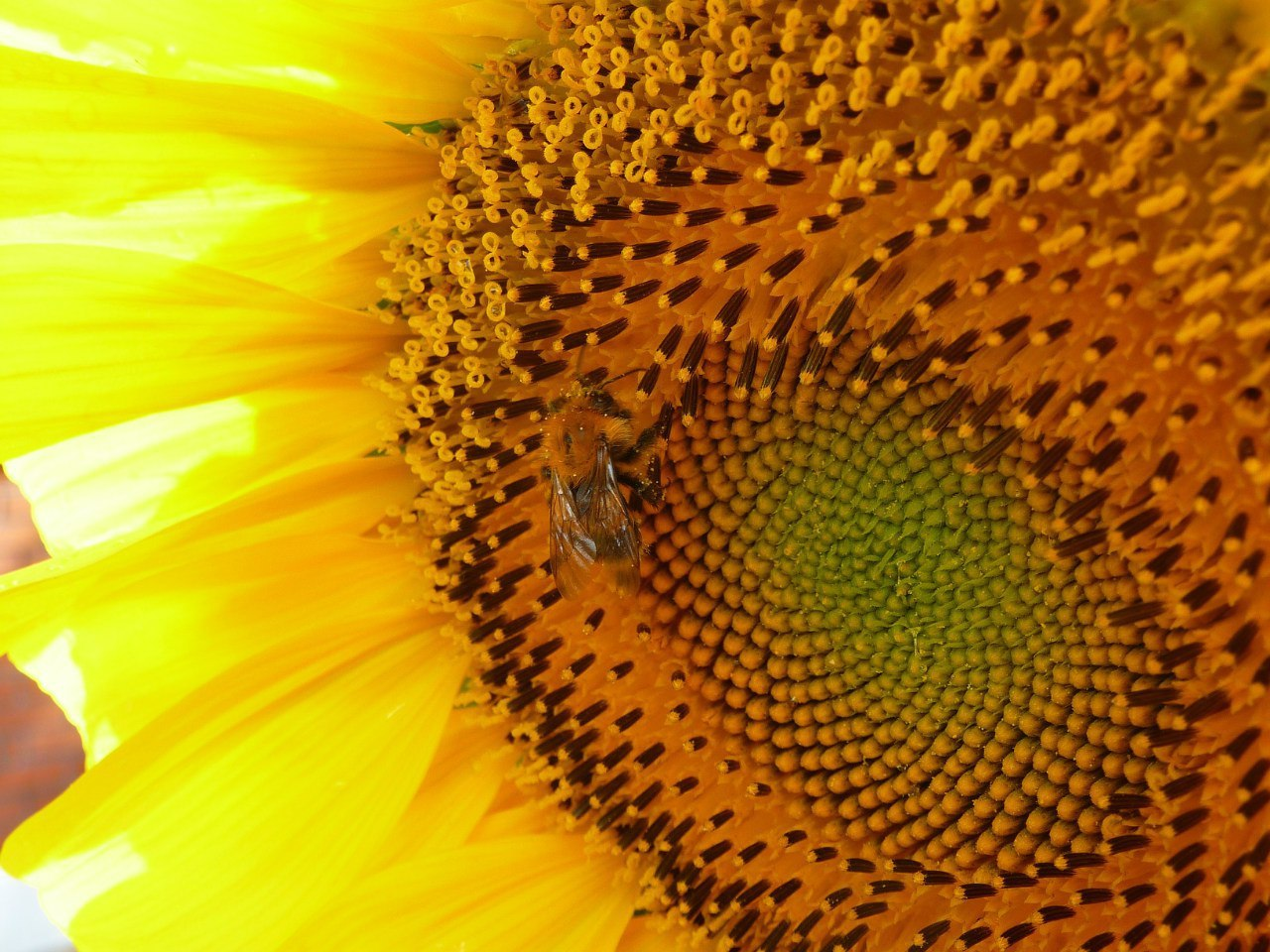 Подсолнух : когда и как собирать семена подсолнечника