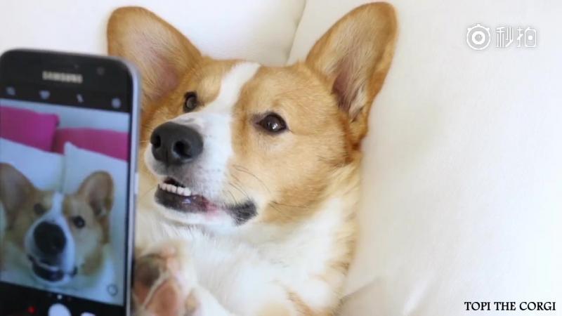 Корги с надеждой увидеть девушку, хахаха-ха-ха, онлайн-любовь должна быть осторожна!