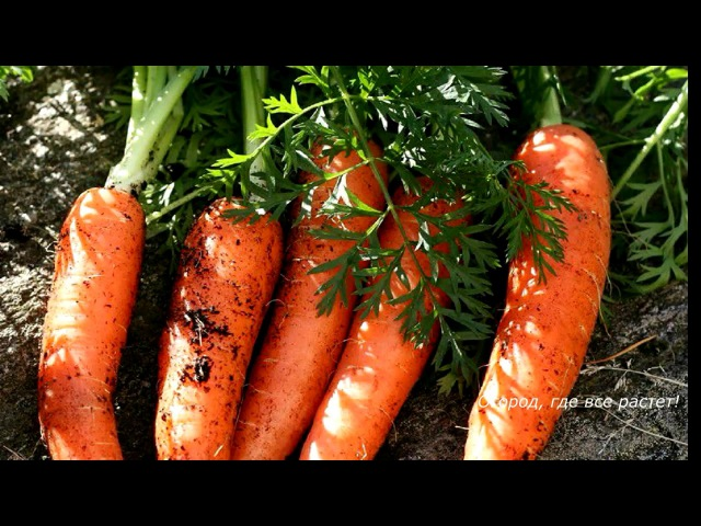 186. Посадка морковки