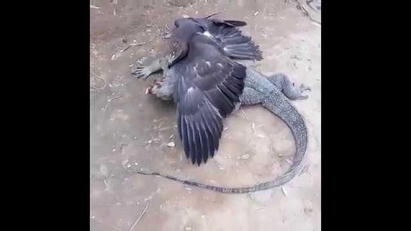 Неудачное нападение орла на полосатого варана, Unsuccessful eagle attack on the water monitor
