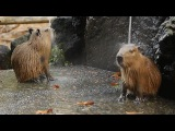 Capybaras take a shower D  #coub, #коуб