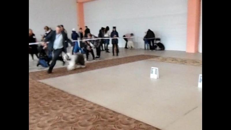 15 октября в городе Комсомольске-на-Амуре прошла национальная выставка собак всех пород ,ранг ЧФ Амурские зори.Моя любимая дев