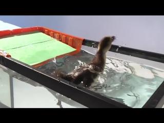 Утенок впервые пробует плавать
