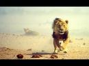 Людоеды Львы Охота на людей Animal Planet