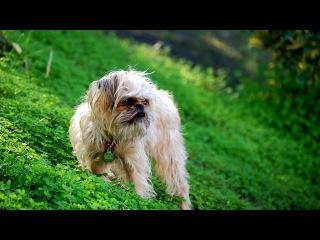 Порода собак. Брюссельский гриффон. Крепкая маленькая собачка с мордочкой обезьянки
