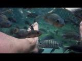 Рыбы- людоеды Пираньи обглодали за несколько минут. Михаил Шилов