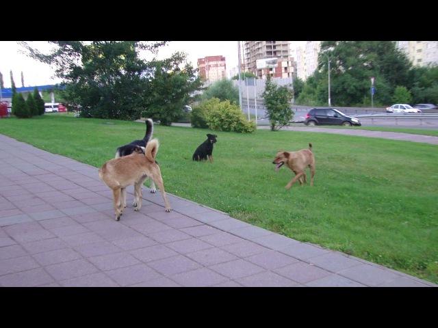 В Щёлкове по центру города разгуливает стая бездомных собак
