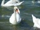 Безумно красивые лебеди качаются на волнах