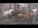 ОГРОМНЫЕ КРЫСЫ И СОБАКИ Собаки ловят больших крыс Ratting with terriers 18