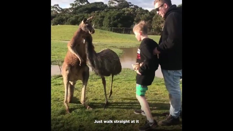 Kangaroo punches kid square in the face