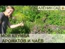 Моя КЛУМБА с ПРЯНЫМИ травами или Аптекарский огород My sample of herb or kitchen garden