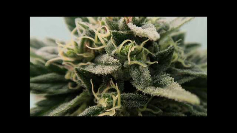 WILLY WONKA DE MR NATURAL SEEDS CON ABONOS PRO-XL. SEGUIMIENTO COMPLETO