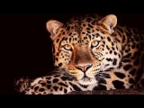 NGC_The Leopard Queen_Savage_Stealthy_Deadly_Predators_Mystery of the Strange &amp Elusive Big Cats.