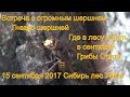 Поход в лес встреча с шершнем за грибами опятами 15 сентября 2017 Сибирь тайга сбор
