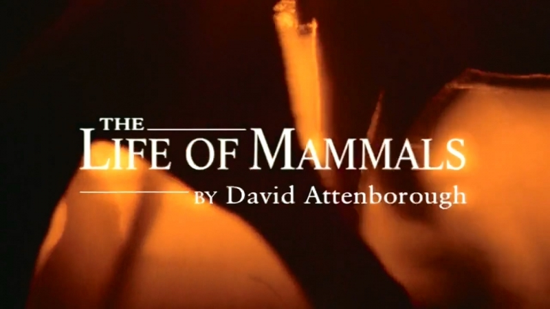 BBC Жизнь млекопитающих 07. Назад к воде / The Life of Mammals (2003) HD