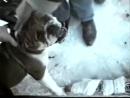Собачьи бои 18+ английский бульдог и английский мастиф