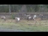 На Шведско Норвежской границе,к нашему удовольствию,паслась стайка оленей.