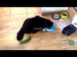 Коты против огурцов