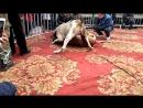 Собачьи бои 18+ Тоса Ину vs Булли Кутта