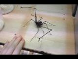 Паук с пальцами!! Spider with fingers!!