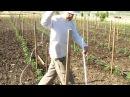 Технология подвязки томатов. Часть 2