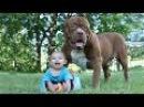 Giant Pit Bull Hulk The Newborn Baby