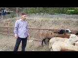 Курбан-байрам в поисках лучшего барана в Грозном