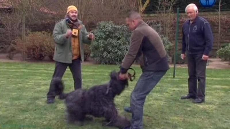 «Планета собак. Фландрский бувье» (Познавательный, кинология, путешествие)