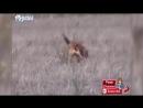 Собака VS койот