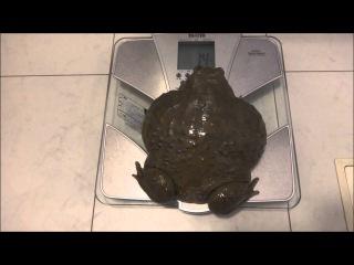 巨大アフウシの体重測定 Weight measurment of a Giant bull frog