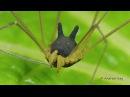 Bizarre Spider In Ecuador Closely Resembles A Bunny Rabbit
