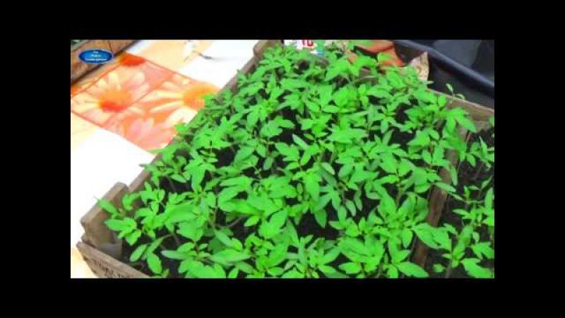 ПОМИДОРЫ ОТ ПОСЕВА ДО УБОРКИ В ОДНОМ ВИДЕО Как вырастить отличные помидоры