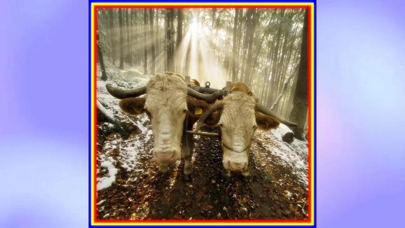 Anghelina Timis Lungu - Rupt-o boii jugu-n tri