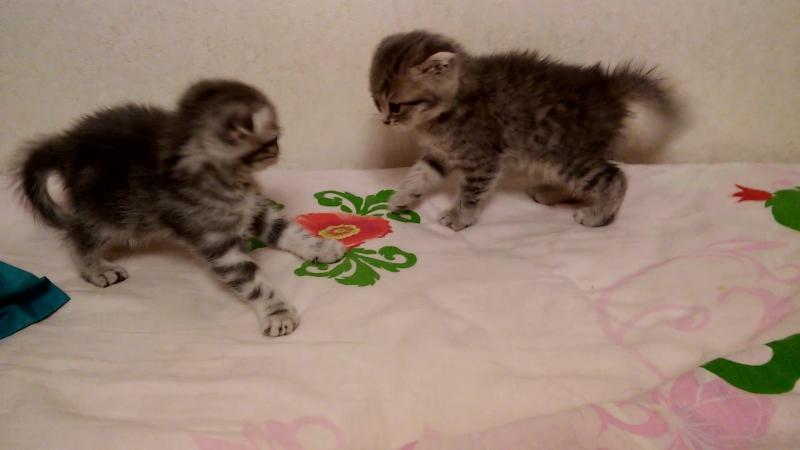 Греко-римская борьба котов