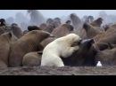 Polar Bear vs Walrus   Planet Earth   BBC Earth