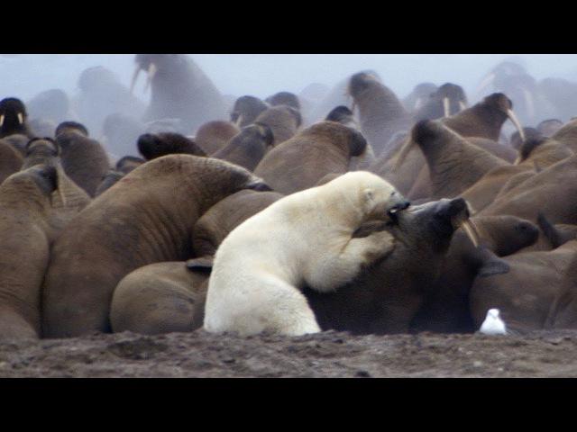 Polar Bear vs Walrus | Planet Earth | BBC Earth