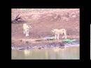 Молодой нильский крокодил берет на себя двух львиц, Crocodile attacks lions