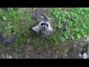 приколы с енотами выпуск 02 funny raccoon ну просто очень смешные еноты coub